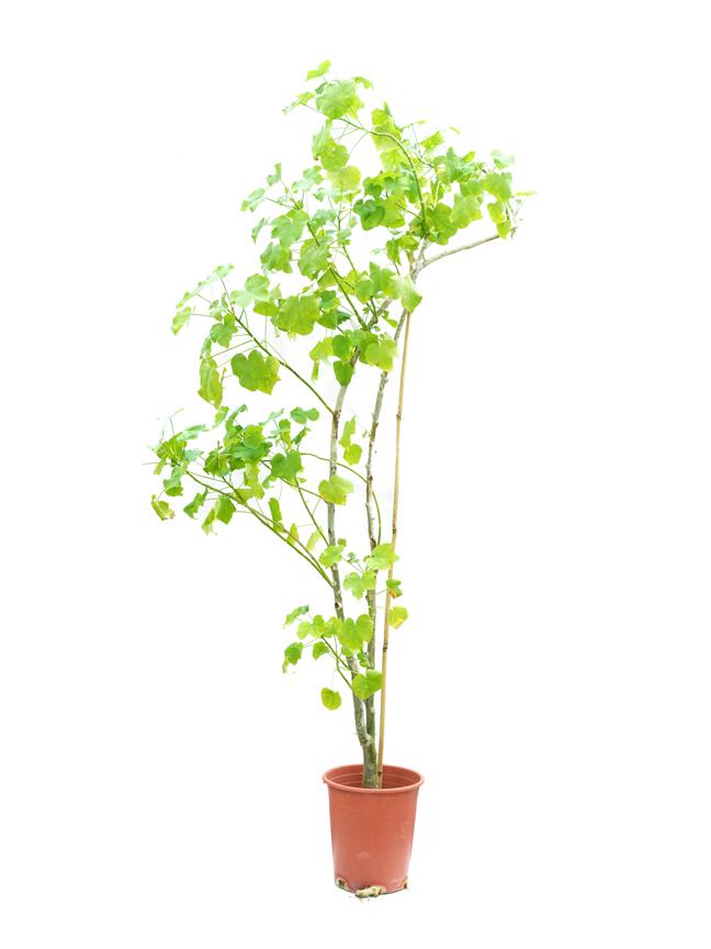 جاتروفا بتروليه 'نباتات خارجية'