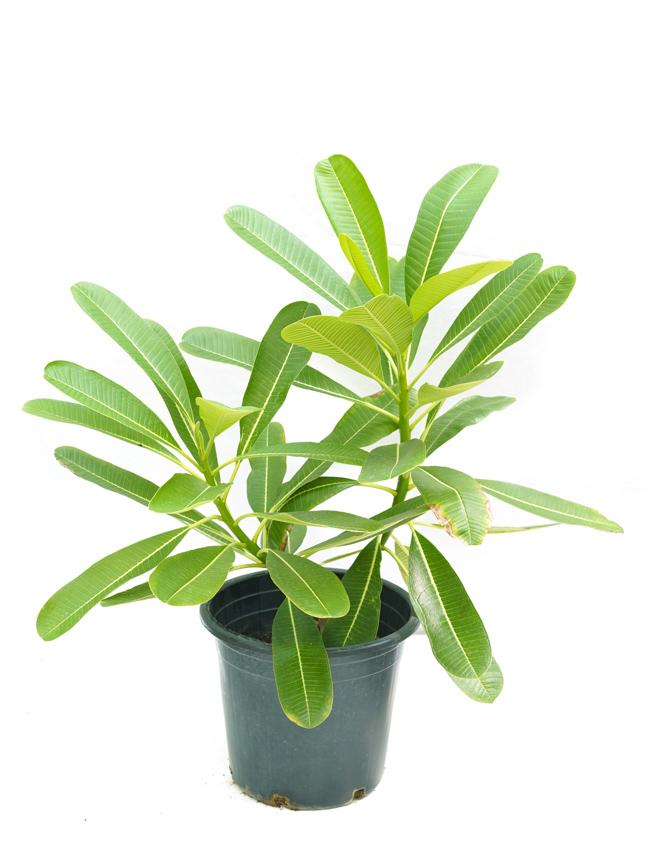 Plumeria P30 'Outdoor Plants'