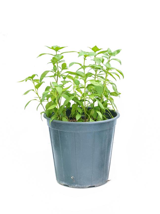 Basil Local (Mushmoom) SN 'Outdoor Plants'