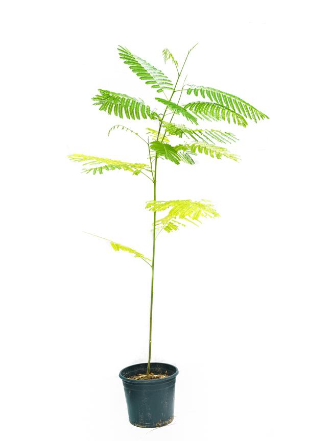 بونسيانا 'نباتات خارجية'