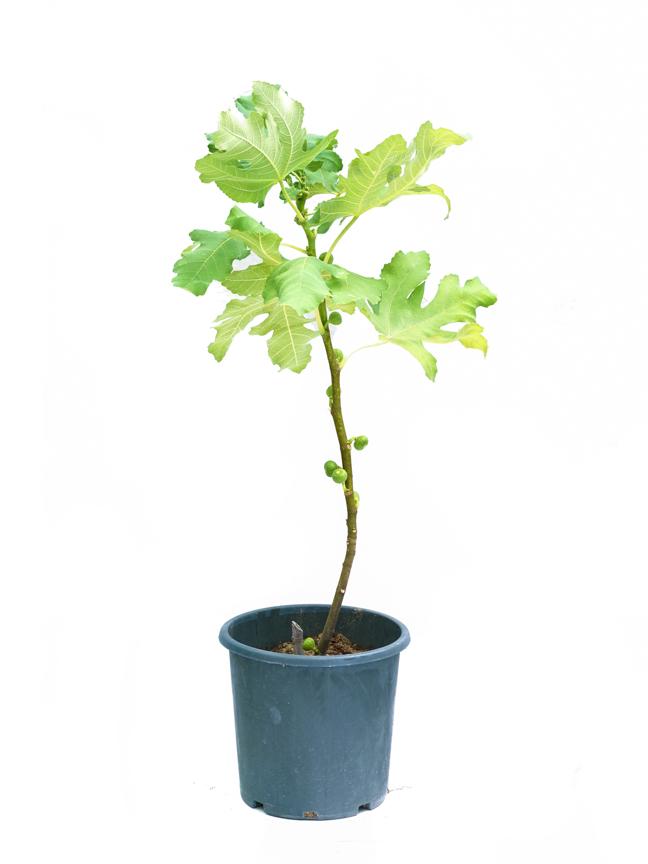 Fig Teen SN 'Outdoor Plants'