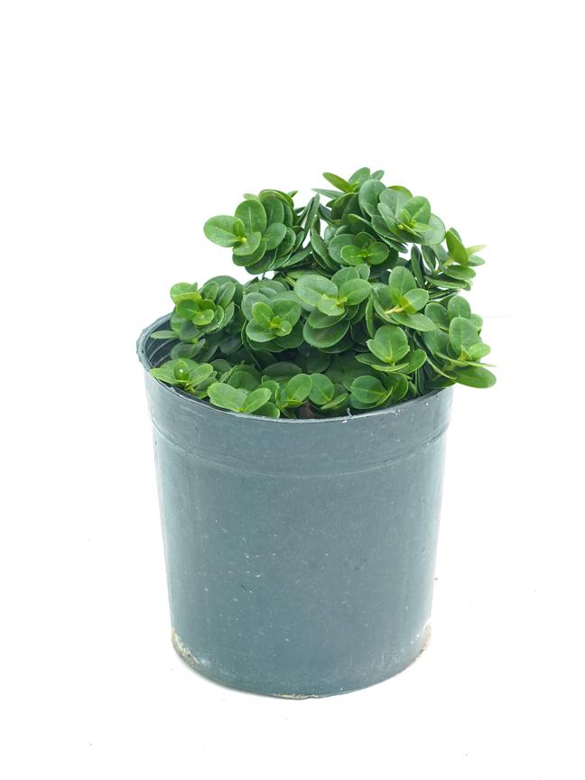 كريسيا ١٤سم 'نباتات خارجية'