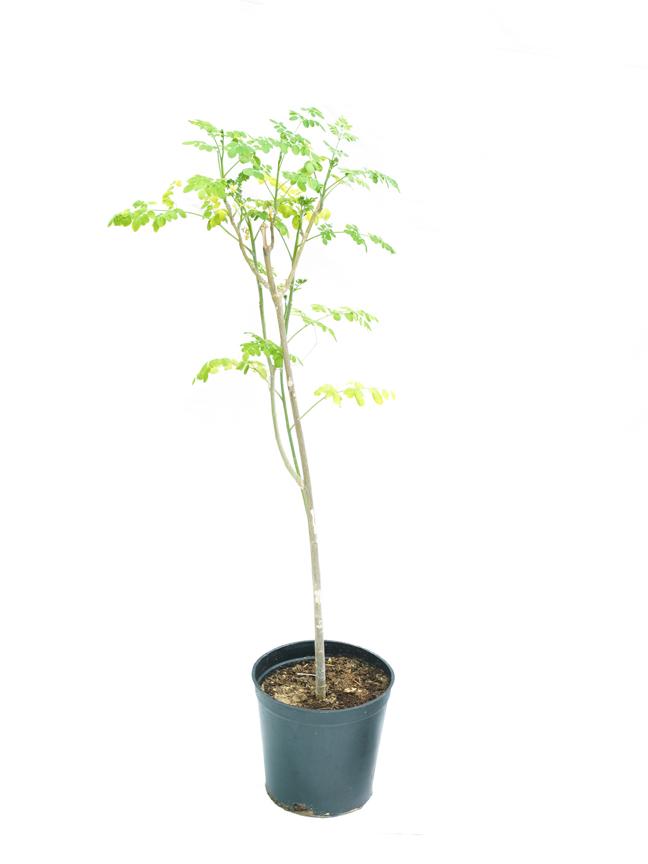Moringa 'Outdoor Plants'
