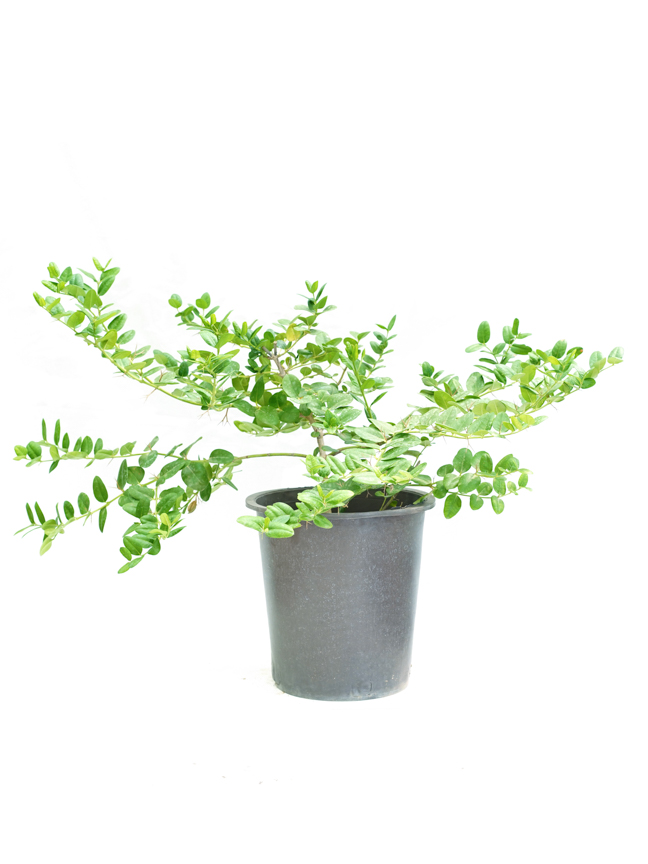 Carissia P30 'Outdoor Plants'