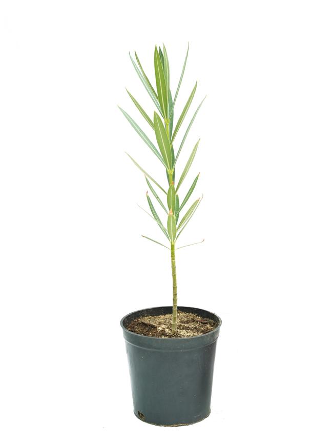 دفله 'نباتات خارجية'