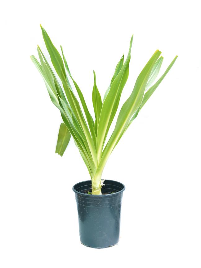 بصل كرينم 'نباتات خارجية'