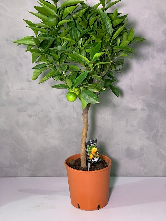 Citrus Calomondin Tree 'Indoor Plants'