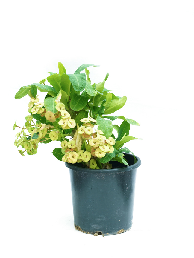 Euphorbia Milli Yellow 'Outdoor Plants'
