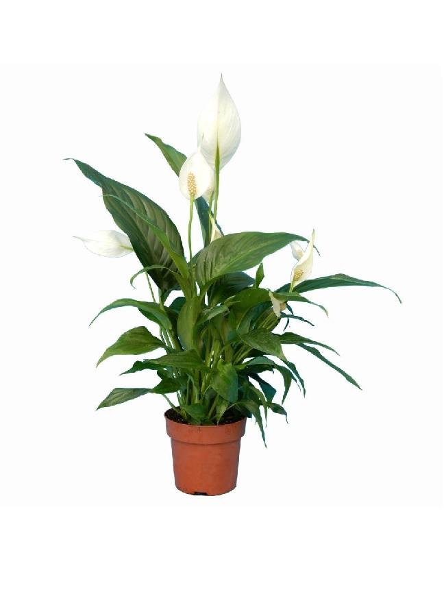 سباتيفيلوم  نباتات داخلية
