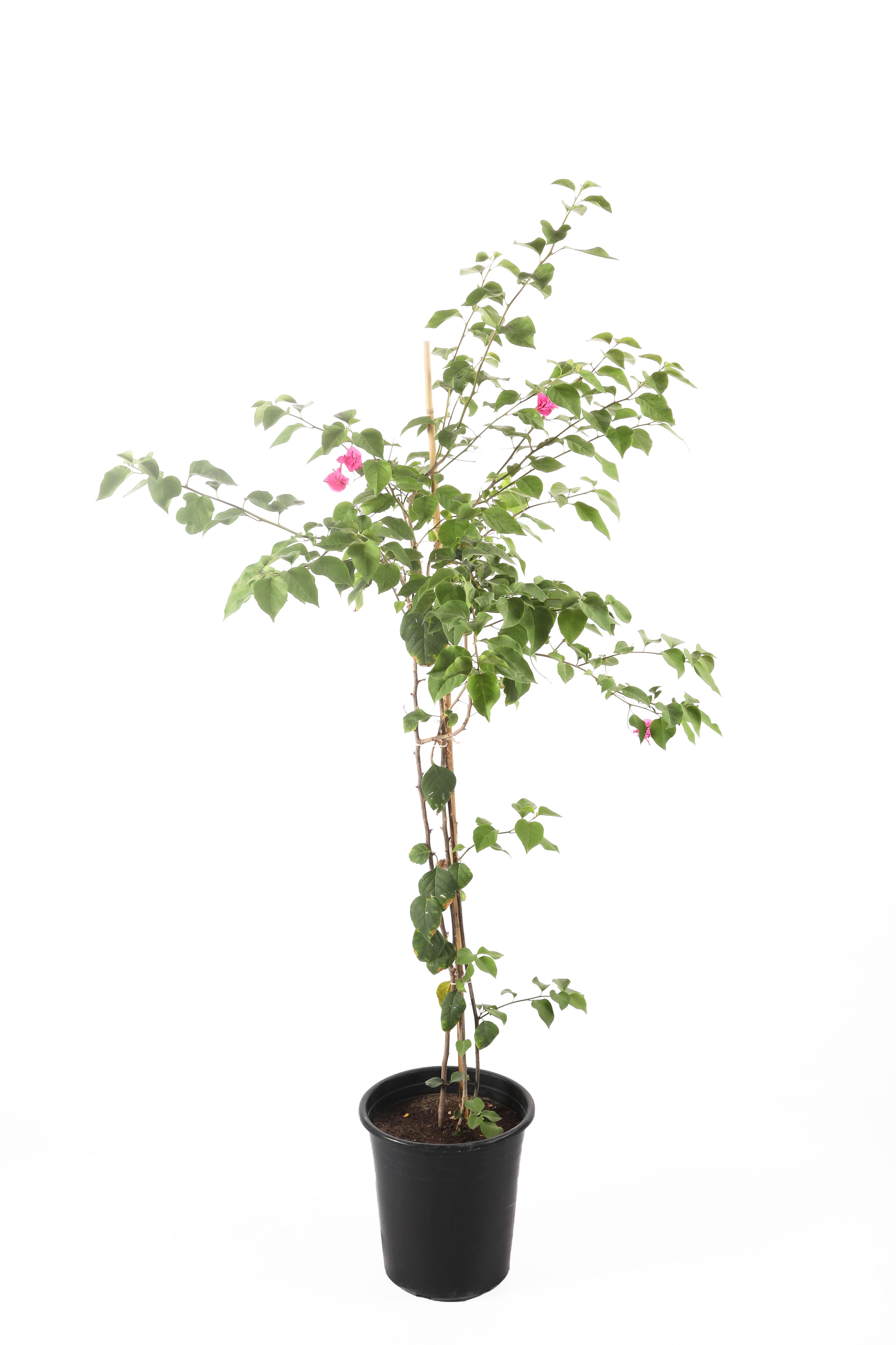 نبتة بولنفيلية او الجهنمية نباتات خارجية