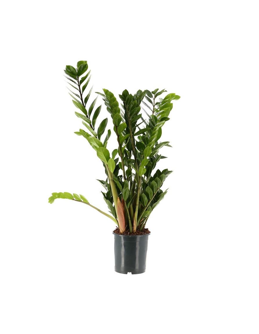 نبتة الزاميازاميفوليا نباتات داخلية
