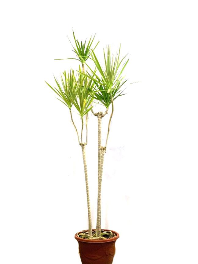 Dorcien 'Indoor Plants'
