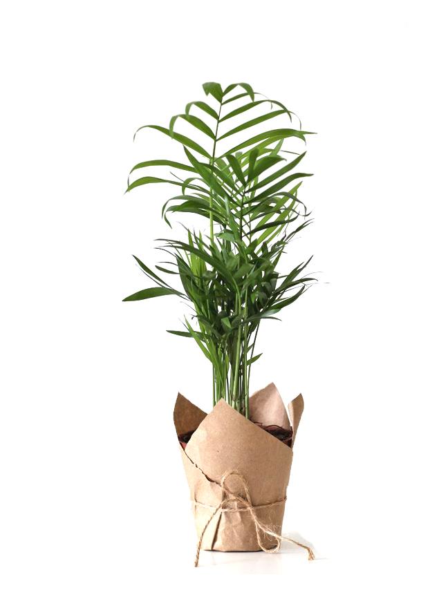 Palma Plant 40cm Indoor Plants