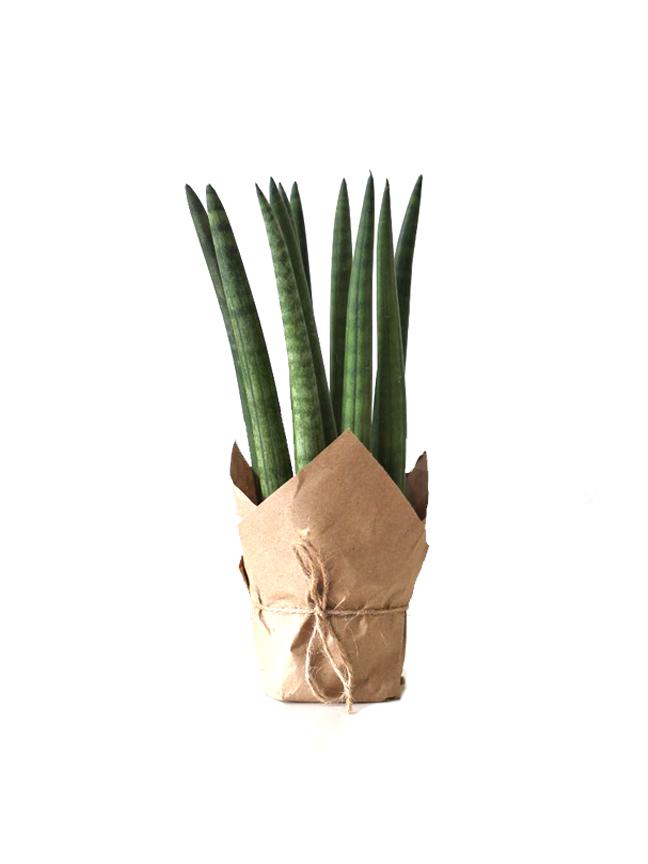 نبات السيليندريكا 25 سم 'نباتات داخلية'