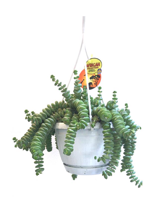 كروسولا المعلقة 'نباتات داخلية'