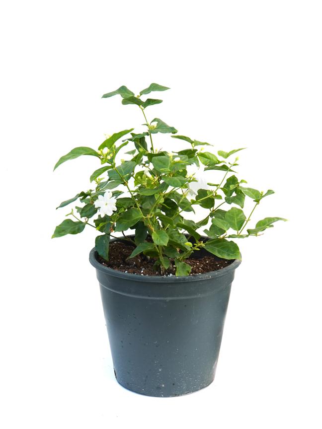 Sambac Jasmine Bul. 'Outdoor Plants'