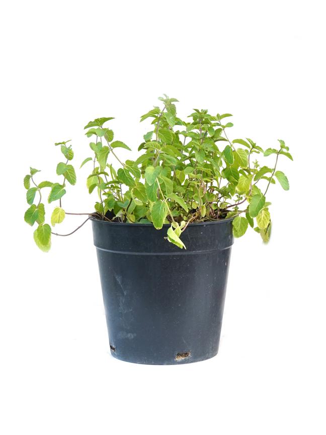 Mint  - Herbs Outdoor Plants