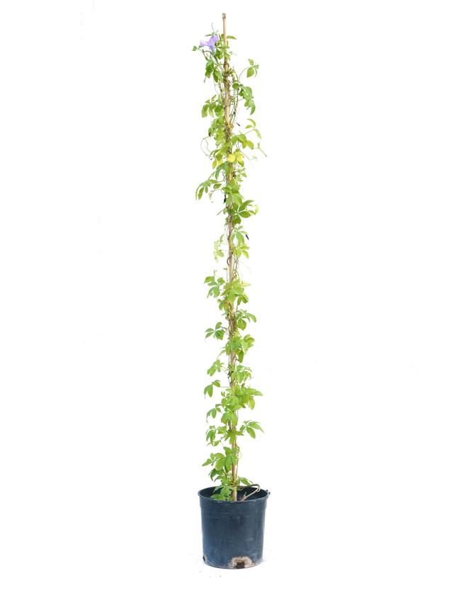 إبومويا بوربوريا نباتات خارجية