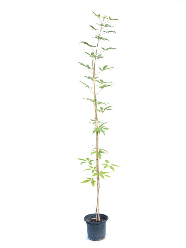 كف مريم 'نباتات خارجية'
