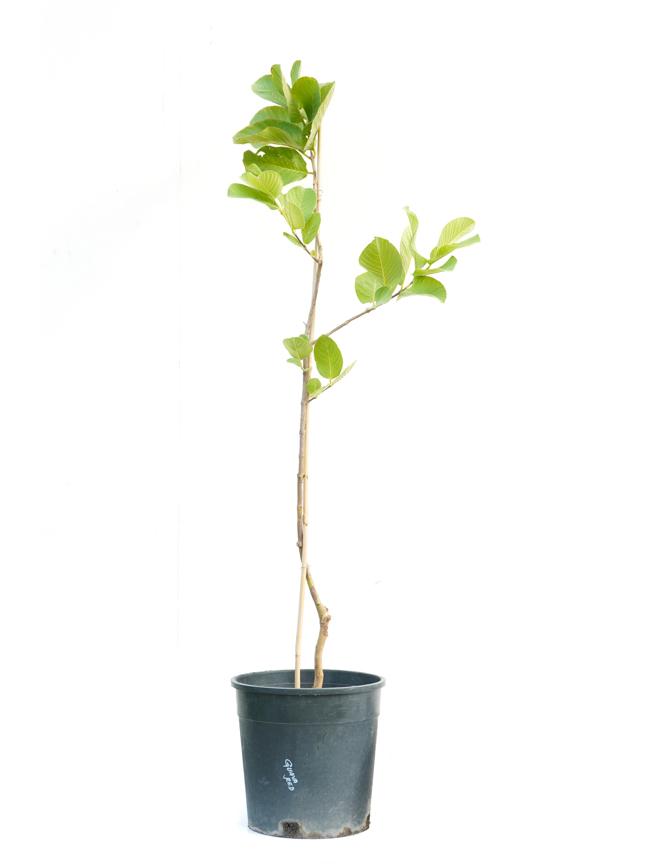 جوافة 'نباتات خارجية'