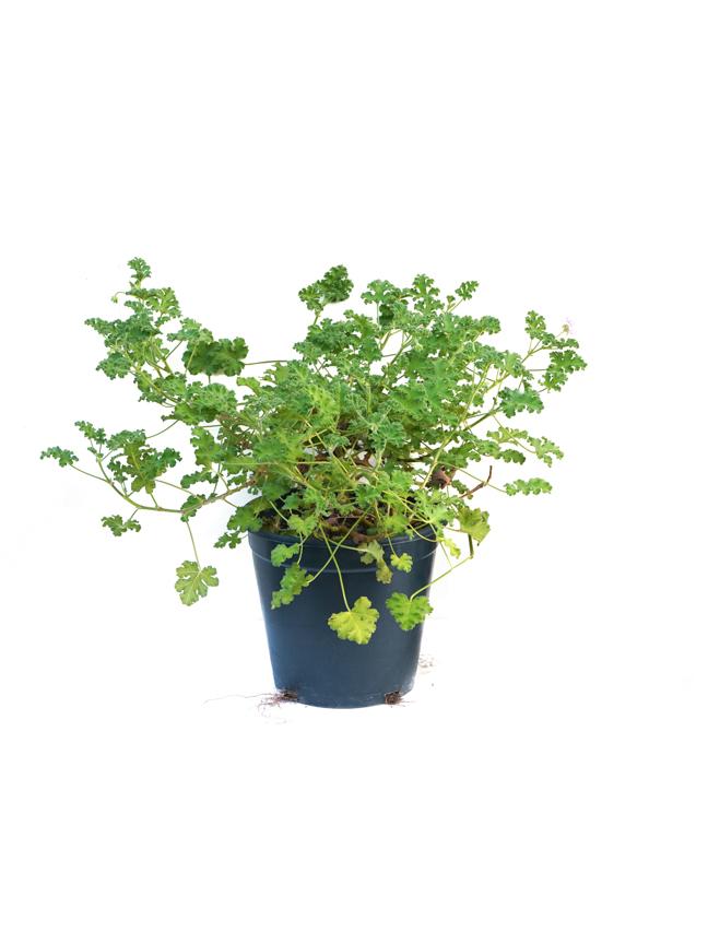 Attra - Herbs - Pelargonium graveolens Outdoor Plants