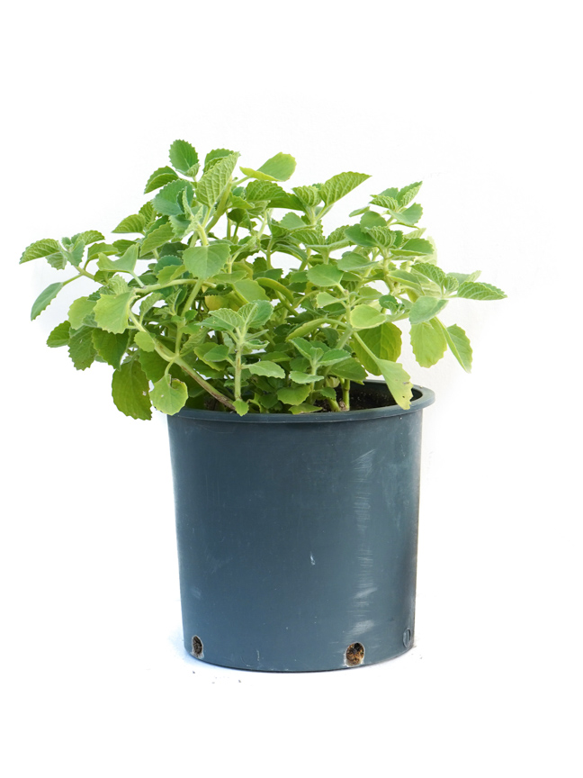 Za'atar American - Herbs 'Outdoor Plants'