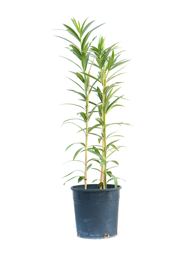 الدفلة نيريوم نباتات خارجية
