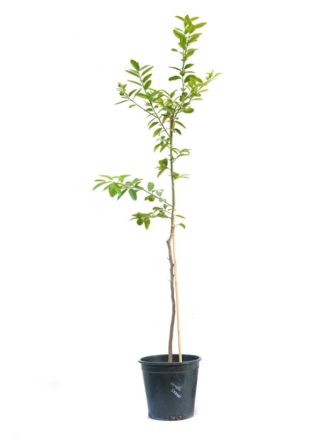 Lemon Shehri 'Outdoor Plants'