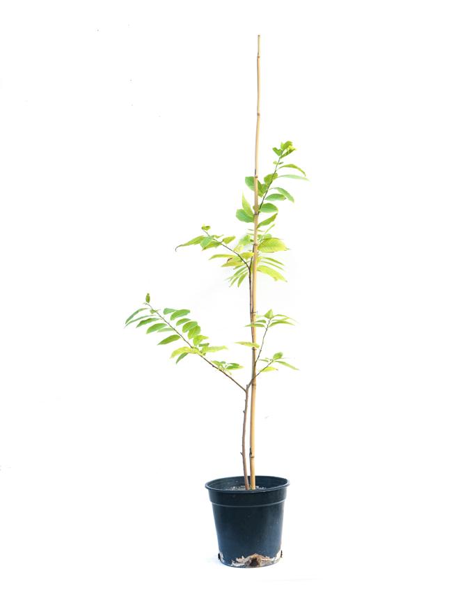 Custard Apple 'Outdoor Plants'