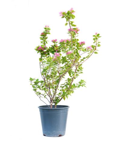 الجهنمية - المجنونة 'نباتات خارجية'