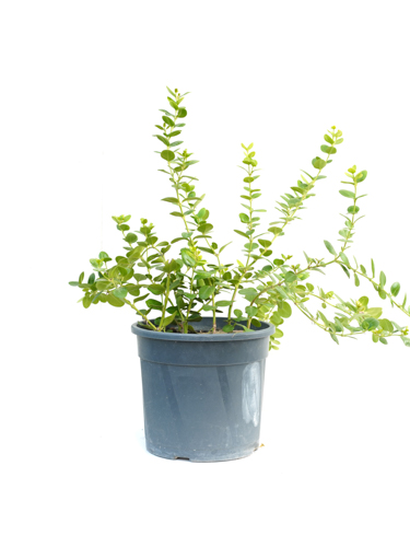 Carissa Grandiflora  'Outdoor Plants'