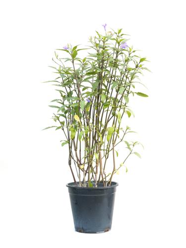 بروليا الجميلة نباتات خارجية
