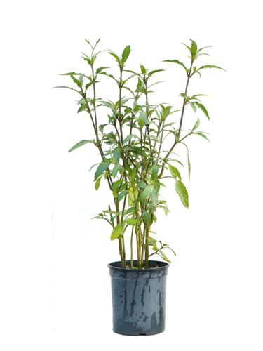 Browallia Speciosa 'Outdoor Plants'