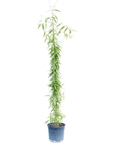 مسواك 'نباتات خارجية'