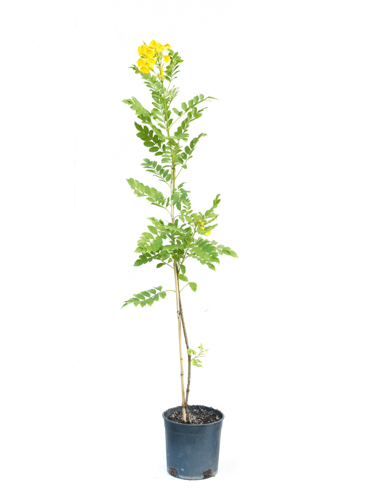 Tecomaria Yellow 'Outdoor Plants'