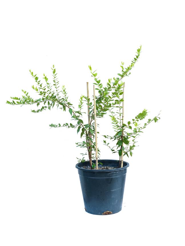 ميرتوس كومليس 'نباتات خارجية'