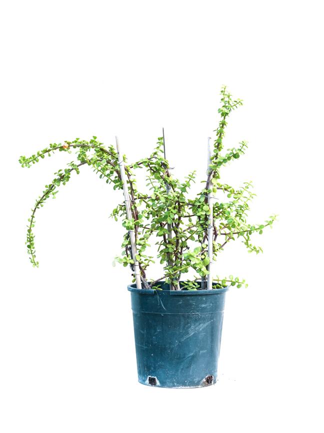 جاد بلانت نباتات خارجية