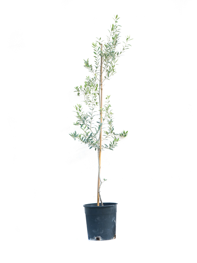 Olive Europaea 'Outdoor Plants'