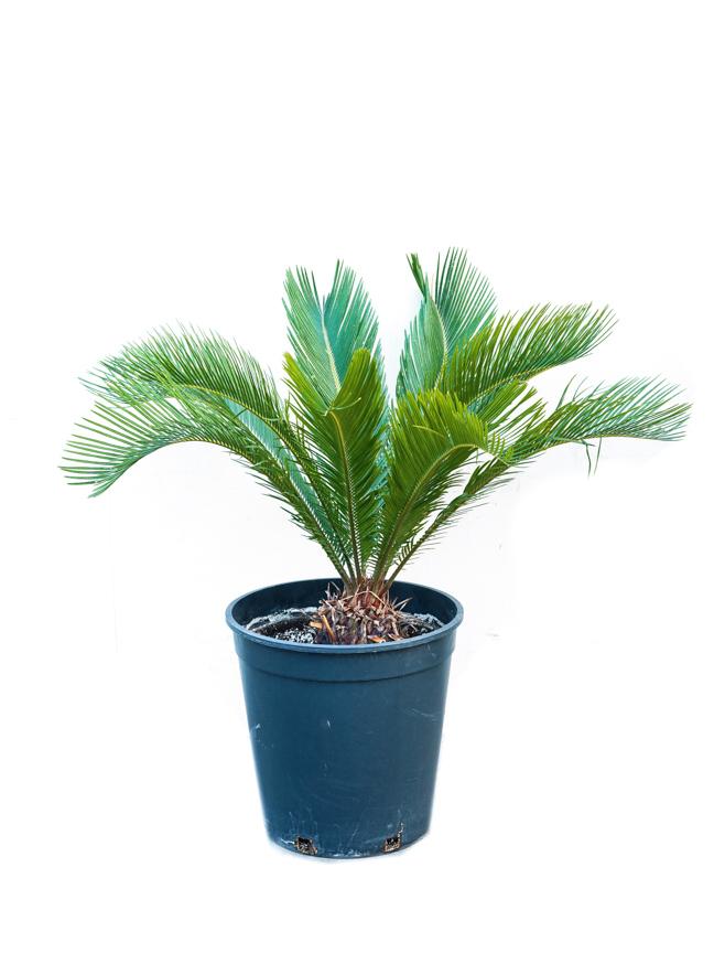 Cycas Revoluta Outdoor Plants