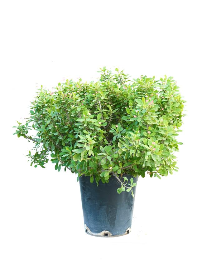 ايفوربيا - شوكه المسيح نباتات خارجية
