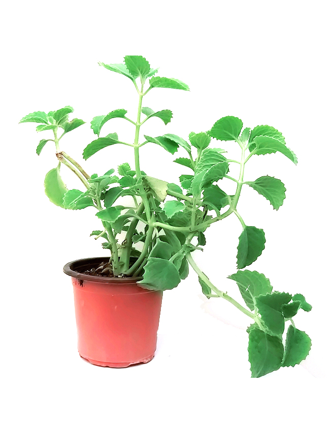 Za'atar America - Herbs Outdoor Plants