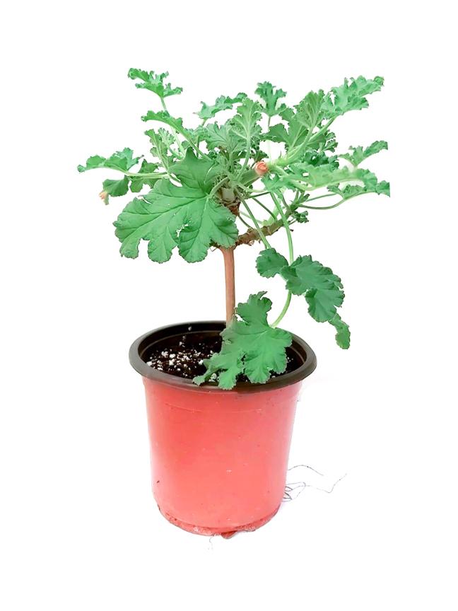 Attra - Herbs Outdoor Plants