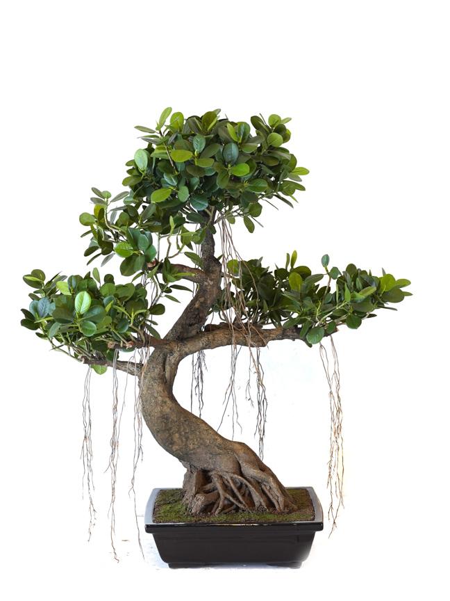 شجرة تين الباندا 'نباتات اصطناعية'