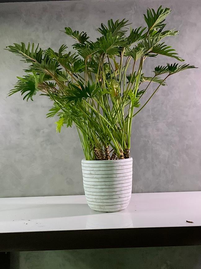 Phillodendron In Capi Planter 'Premium Collection'