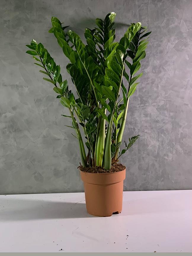 Zamioculcas Zamiifolia 'Indoor Plants'