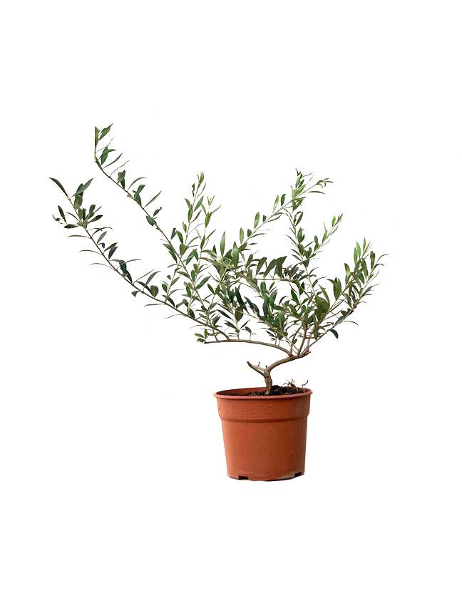نباتات الزيتون 'نباتات داخلية'