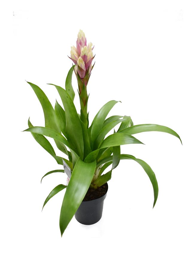 Guzmania  Indoor Plants