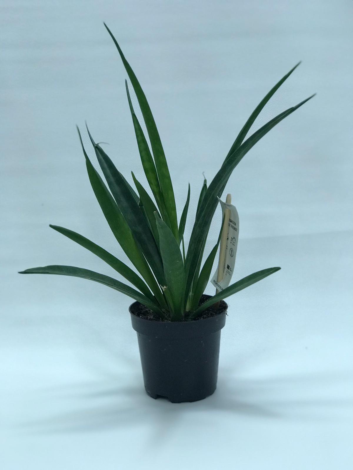 plant sansevieria kirkii 28cm Indoor Plants