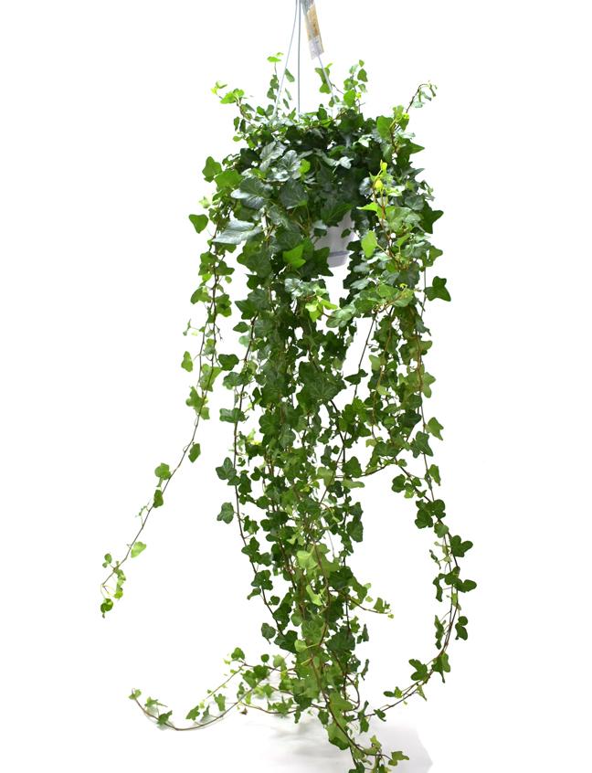 Hedera hanging  Indoor Plants