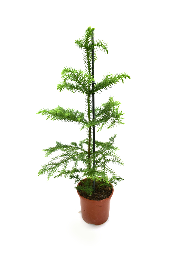 Araucaria Plant Indoor Plants